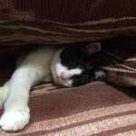 こたつにて 寝る猫
