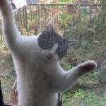 網戸にはいつくばる猫
