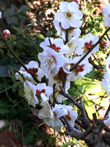 盆栽の梅がもうすぐ満開